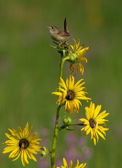 Sedge Wren on C0mpass Plant by Carl Kurtz